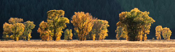 Cottonwood grove lit by afternoon light